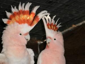 Birdland-Chopper-Charlize-pink-cockatoos