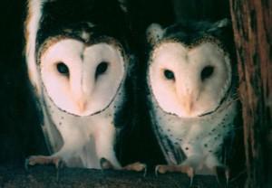 Birdland-Masked-Owls-Errol-Hedwig