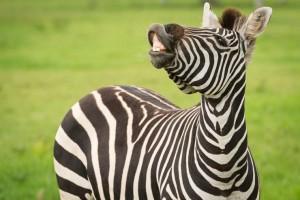 MogoZoo-Fikizolo-Zebra-AfricanSavannah