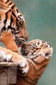 MogoZoo-Tiger-w-cub