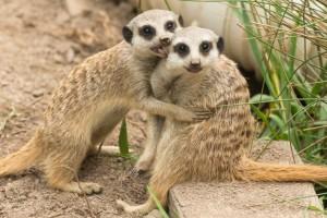Mogozoo-Meerkat-pups