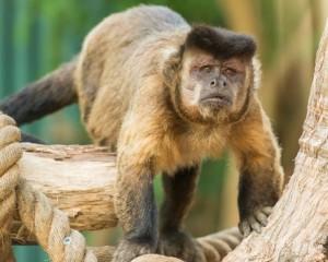 Mogozoo-Patrick-Capuchin-monkey