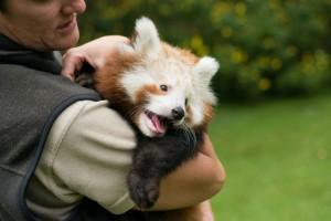 mogozoo-chai-baby-red-panda